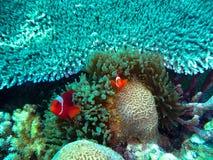Clownfish in ertsader Royalty-vrije Stock Afbeeldingen