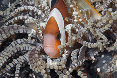 Clownfish escondendo foto de stock