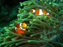 Clownfish et anémone photo stock