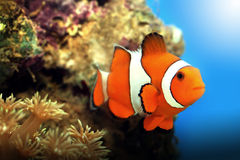 Clownfish et coraux Photo stock