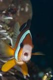 Clownfish facente il broncio Immagini Stock Libere da Diritti