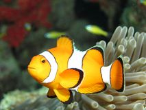 Clownfish. False clown anemonefish (Amphiprion ocellaris) near its host anemone. Photographed on the Andaman coast of Thailand royalty free stock image