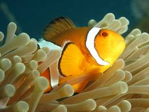 Clownfish. False clown anemonefish hiding in its host anemone's tentacles. Photographed on the Andaman coast of Thailand stock photo