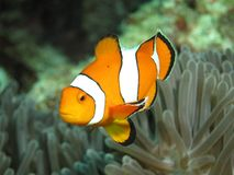 Clownfish. False clown anemonefish swimming near its host anemone. Photographed on the Andaman coast of Thailand royalty free stock photos