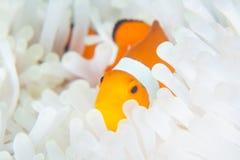 Clownfish falso in anemone candeggiato fotografia stock libera da diritti