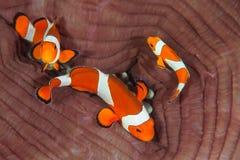 Clownfish falso em Indonésia Fotografia de Stock