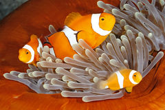 Clownfish-Familie in der Seeanemone Stockfotos