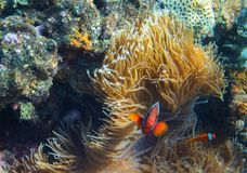 Clownfish family in actinia. Tropical seashore inhabitants underwater photo. Coral reef animal. Warm sea nature. Colorful sea fish and corals. Undersea view of Royalty Free Stock Photos