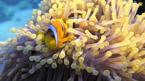Clownfish family playing in their anemone home stock video footage
