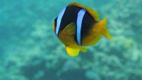 Clownfish family playing in their anemone home stock video