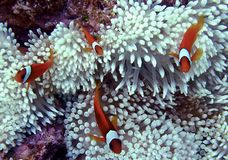 Clownfish Family. On a small anemone. Photo was taken off the coast of Okinawa, Japan Stock Images