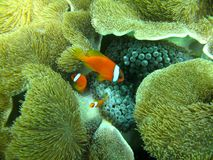 Clownfish Family. Swimming near their anemone. Photo was taken off the coast of Okinawa, Japan Royalty Free Stock Photo
