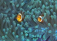 Clownfish in fluorescent green anemone. Royalty Free Stock Images
