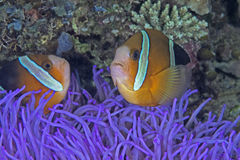 Clownfish in Fluorescent Purple anemone Stock Images