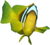Clownfish från det isolerade Röda havet royaltyfri foto