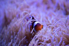 Clownfish frolicking in living sea anemone royalty free stock photography