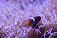 Clownfish frolicking in living sea anemone. A small Clownfish frolicking in living sea anemone in a saltwater tank royalty free stock photography