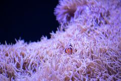 Clownfish frolicking in living sea anemone. A small Clownfish frolicking in living sea anemone in a saltwater tank stock photos