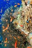 Clownfish and glassfish around a pinnacle. A Clownfish , glassfish and anthias around a coral pinnacle royalty free stock photo