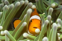 Clownfish and green anemone stock photography