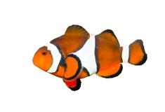 Clownfish ha isolato su bianco fotografie stock