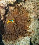Clownfish het verbergen in de tentakels van zijn gastheer Royalty-vrije Stock Foto