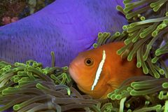 Clownfish. Hiding in an anemone Stock Photo