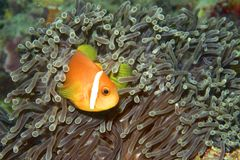 Clownfish. Hiding in an anemone Royalty Free Stock Photos