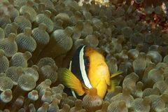 Clownfish. Hiding in an anemone Royalty Free Stock Photo