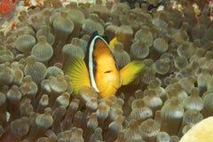 Clownfish. Hiding in an anemone Stock Photos