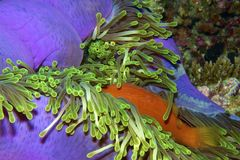 Clownfish. Hiding in an anemone Royalty Free Stock Image