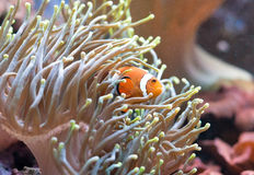 Clownfish. Clownfish hiding in coral polyps. Amphiprion ocellaris Stock Photos