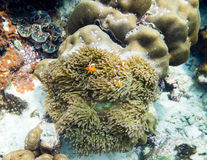 Clownfish hiding in coral. Reef Royalty Free Stock Images