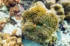 Clownfish hiding in coral Royalty Free Stock Image