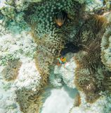 Clownfish Hiding in Reef Anemone. Natural coral reef with tomato clownfish hiding in the reef anemone in the pristine underwater reef ecosystem off Yejele Beach Royalty Free Stock Photos