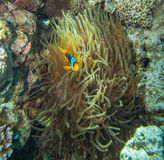Clownfish hiding in the tentacles of its host. Red sea coral reef - Clownfish hiding in the tentacles of its host anemone Royalty Free Stock Photography