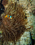 Clownfish hiding in the tentacles of its host. Red sea coral reef - Clownfish hiding in the tentacles of its host anemone Stock Image