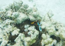 Clownfish and Humbug Damselfish. Tomato clown fish, three-striped damselfish, anemone and other natural corals in the underwater reef system off Yejele Beach in Stock Image