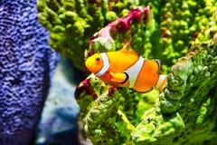 Clownfish i akvariet för havsliv i Bangkok royaltyfri foto