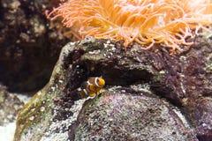Clownfish i akvarium Royaltyfria Bilder