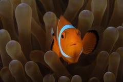 Clownfish i anemon Royaltyfri Bild