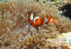 Clownfish i anemon Arkivfoto