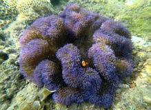 Clownfish i anemon w Malezja zdjęcie stock