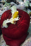 Clownfish i denny anemon Obraz Royalty Free