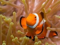 Clownfish i en anemon Royaltyfria Foton