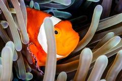 Clownfish i en anemon Arkivfoton