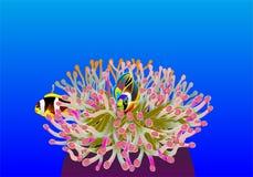 Clownfish i en färgrik havsanemon Fotografering för Bildbyråer