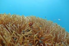 Clownfish i havsanemonen Royaltyfria Foton