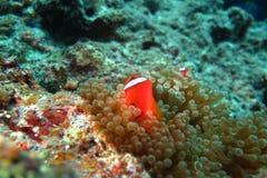 Clownfish i havsanemonen Arkivfoto