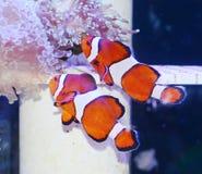 Clownfish i marin- akvarium Royaltyfri Bild